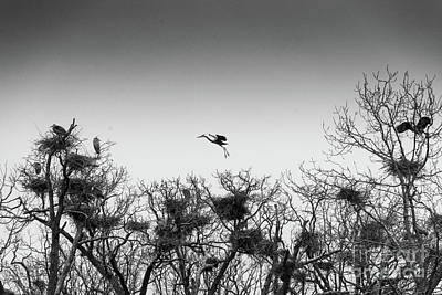 Photograph - Sandhill Cranes Nest Building by Randy J Heath