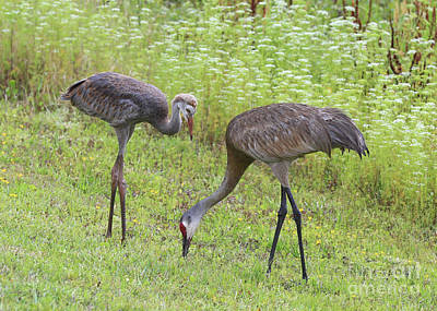 Baby Bird Photograph - Sandhill Cranes Next To Wildflowers by Carol Groenen