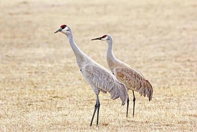 Photograph - Sandhill Cranes Of Montana by Jennie Marie Schell