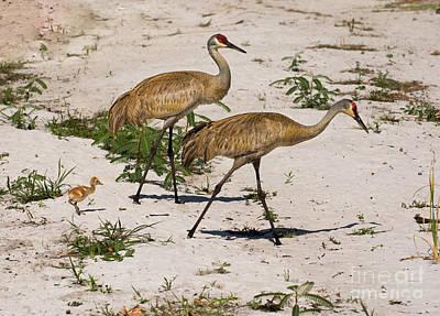 Sandhill Cranes On Hot Sandy Beach Art Print