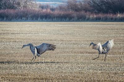Photograph - Sandhill Cranes Pair Landing by Belinda Greb