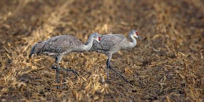 Cornfield Photograph - Sandhill Cranes - Pair by Nikolyn McDonald
