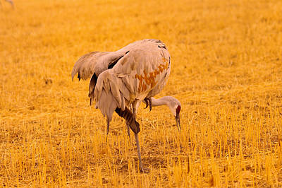 Birds Rights Managed Images - Sandhill cranes pecking the ground Royalty-Free Image by Jeff Swan