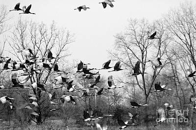 Photograph - Sandhill  Cranes Take Flight by Paula Guttilla