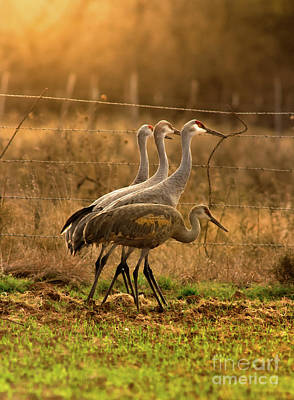 Photograph - Sandhill Cranes Texas Fence-line by Robert Frederick