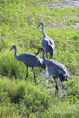 Sandhill Cranes Through The Reeds Art Print by Carol Groenen