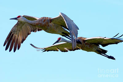 Photograph - Sandhill Cranes Winging It by Sharon Talson