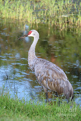 Photograph - Sandhill In Colorful Marsh by Carol Groenen