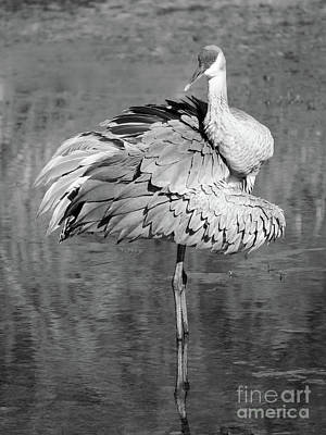 Photograph - Sandhill In Pond Black And White by Carol Groenen