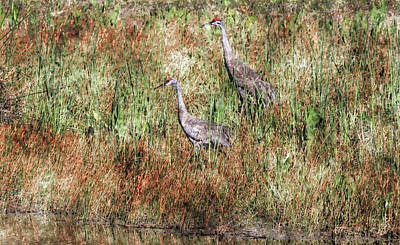 Photograph - Sandhill Mates by HH Photography of Florida