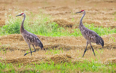 Photograph - Sandhill Pair  by Ricky L Jones
