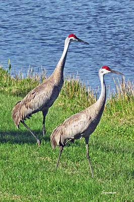 Photograph - Sandhill Pair by T Guy Spencer