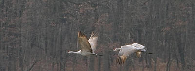 Photograph - Sandhills In Flight by Shari Jardina