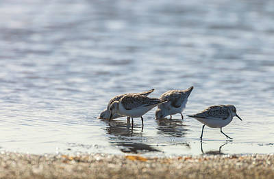 Photograph - Sandpipers by Jonathan Nguyen