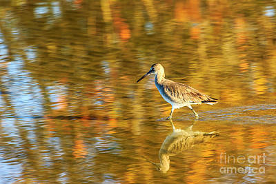 Photograph - Sandpiper At Bunche Beach by Ben Graham