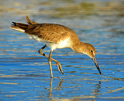 Photograph - Sandpiper Hunting by David Lee Thompson