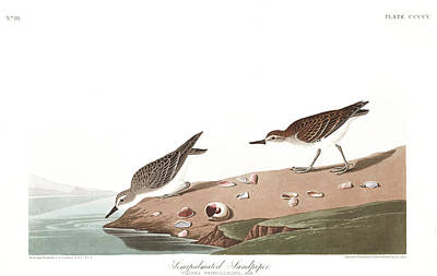 Sandpiper Wall Art - Painting - Sandpiper by John James Audubon