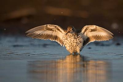 Sandpiper Digital Art - Sandpiper by Kayle Arcus