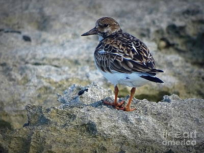 Photograph - Sandpiper Looking For Something by Lainie Wrightson