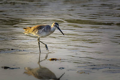 Photograph - Sandpiper by Robert Mitchell