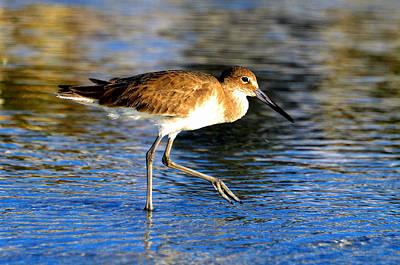 Photograph - Sandpiper Walking by David Lee Thompson