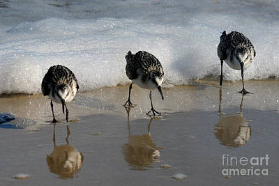 Art Print featuring the photograph Sandpipers Feeding by Dan Friend