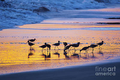 Photograph - Sandpipers In A Golden Pool Of Light by Sharon Foelz