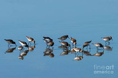 Photograph - Sandpipers Mirrored by Mike Dawson