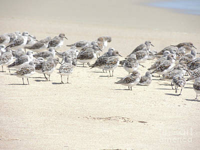 Photograph - Sandpipers by Robert Ball