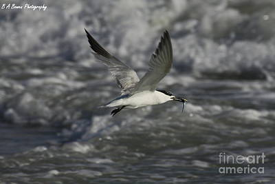 Photograph - Sandwhich Tern Flies Over Stormy Waves by Barbara Bowen