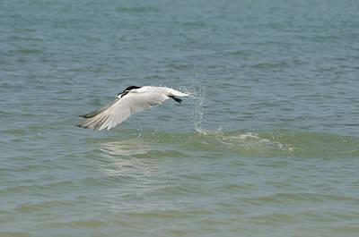 Photograph - Sandwhich Tern by James Petersen