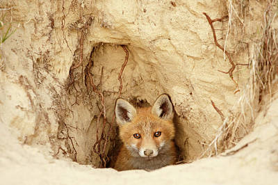 Adorable Photograph - Sandy Nose - Red Fox Kit Coming Out Of Its Den by Roeselien Raimond