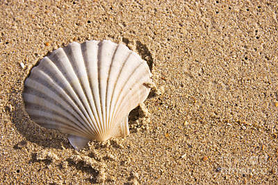 Photograph - Sandy Shell by Jorgo Photography - Wall Art Gallery