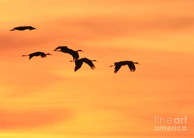 Photograph - Sanhill Cranes Flying At Sunset by Paula Guttilla