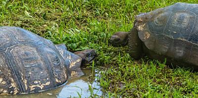 Photograph - Santa Cruz Tortoise Meeting by Harry Strharsky