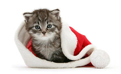 Photograph - Santa Hat Snuggle Maine Coon Kitten by Warren Photographic