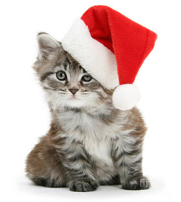 Photograph - Santa Maine Coon Kitten by Warren Photographic