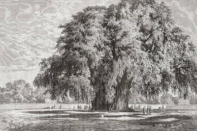 Cypress Tree Drawing - Santa Mar by Vintage Design Pics