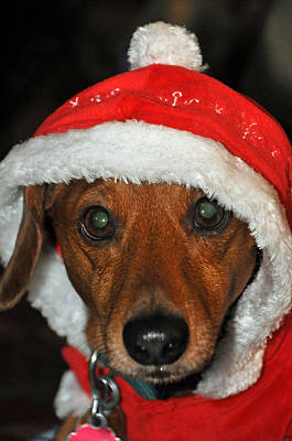 Photograph - Santa Puppy by Teresa Blanton