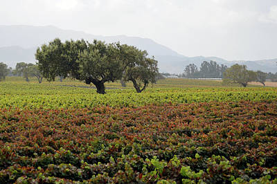 Photograph - Santa Ynez Vineyard by Barbara Snyder