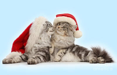 Photograph - Santas Kissing Cats by Warren Photographic