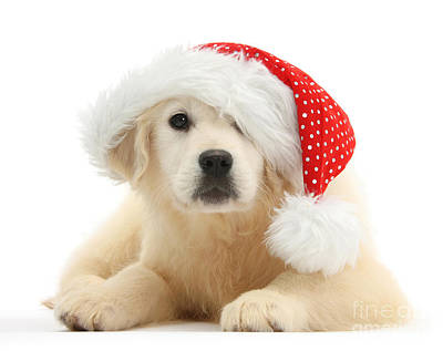 Photograph - Santa's Little Retriever by Warren Photographic