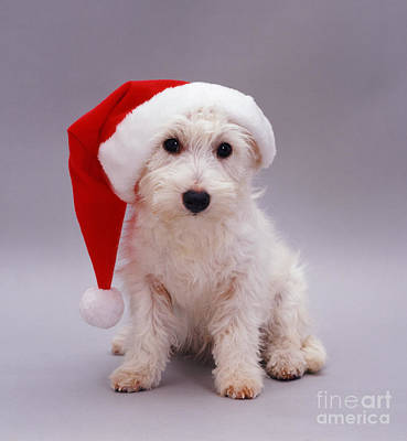 Photograph - Santa's Wild Westie by Warren Photographic