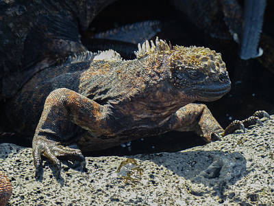 Santiago Marine Iguana Art Print by Harry Strharsky