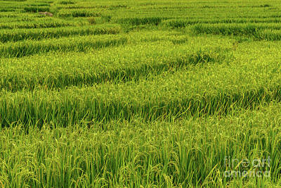Photograph - Sapa Ricefields 1 by Werner Padarin