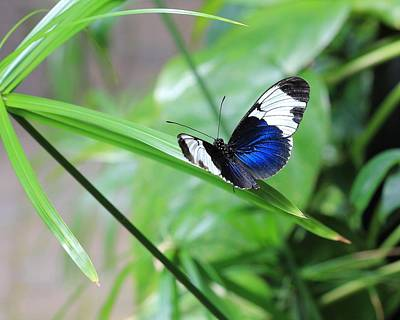Photograph - Sapho Longwing Butterfly by Angela Murdock