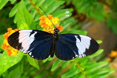 Photograph - Sapho Longwing by Kathryn Meyer