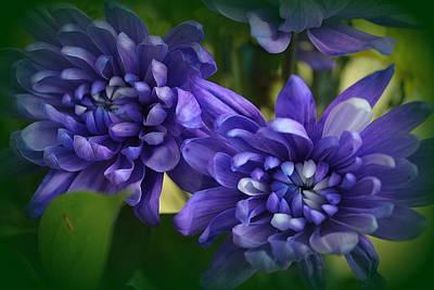 Sapphire Blue Chrysanthemums Art Print