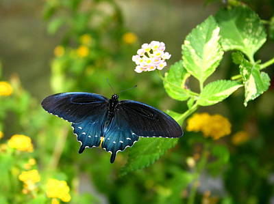 Photograph - Sapphire Swallowtail by David Dunham