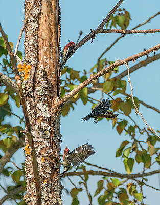 Photograph - Sapsucker Party by Loree Johnson